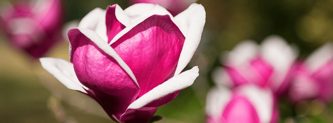 This an image of a beautiful Magnolia flower in bloom